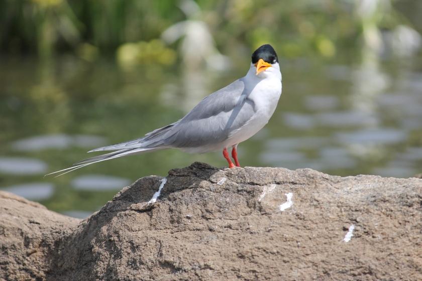 IMG_0917_River_Tern