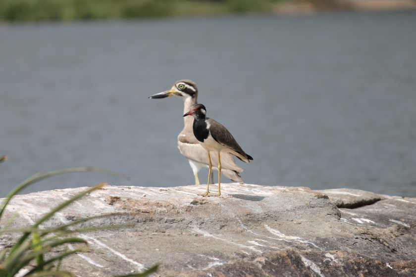 IMG_0919_Great_Stone_Plover